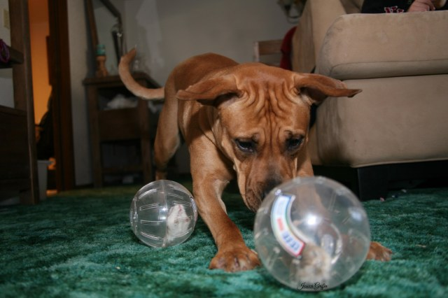 Josephine lab boxer mix dog puppy animal inspecting hamsters friends relationship